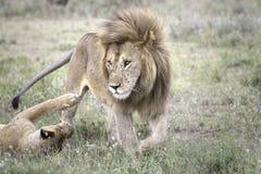Portrait of wild african lion Stock Photo