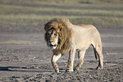 Portrait of wild african lion Stock Image