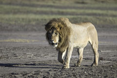 Portrait of wild african lion Stock Images