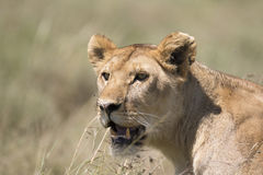 Portrait of wild african lion Royalty Free Stock Photo