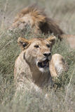 Portrait of wild african lion Royalty Free Stock Photos