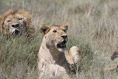 Portrait of wild african lion Stock Photos