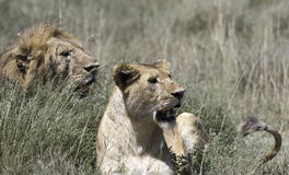 Portrait of wild african lion Royalty Free Stock Image