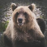 Portrait of wild angry and hungry Kamchatka brown bear looking at camera stock photo