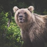 Portrait of wild angry and hungry Kamchatka brown bear looking at camera royalty free stock photography