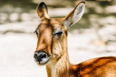 Portrait Of Wild Antelope. Close Up Portrait Of Wild Antelope Royalty Free Stock Photos