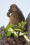 Portrait of a wild baboon in southern Africa. Royalty Free Stock Photo
