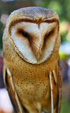 Portrait of wild Barn Owl Royalty Free Stock Photography