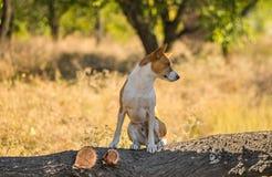 Portrait of wild Basenji dog on a  tree branch Stock Photography
