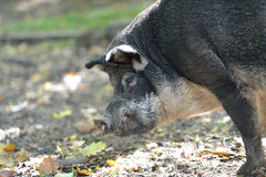 Portrait of wild boar in autumn forest Royalty Free Stock Photography