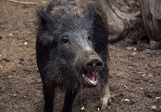 Portrait of a wild boar, large head. Stock Photography