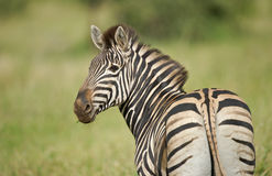 Portrait of a wild Burchell's Zebra. A Burchell's (Plains) Zebra on the African plains royalty free stock images