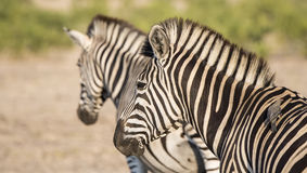 Portrait of a Wild Burchell's Zebra (Equus quagga burchellii) Stock Photography