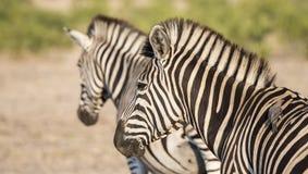 Portrait of a Wild Burchell's Zebra (Equus quagga burchellii) Stock Photography