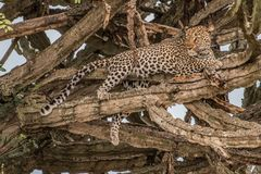 Portrait of the wild cat animal, Leopard laying down on the grass looking to the camera. royalty free stock photos