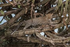 Portrait of the wild cat animal, Leopard laying down on the grass looking to the camera. stock photos