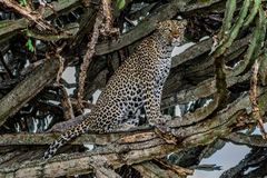 Portrait of the wild cat animal, Leopard laying down on the grass looking to the camera. royalty free stock photography