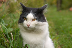 Portrait of a wild cat Royalty Free Stock Image