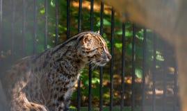 Portrait Wild Cat ,Felis silvestris. Portrait European Wild Cat ,Felis silvestris in zoo Royalty Free Stock Images
