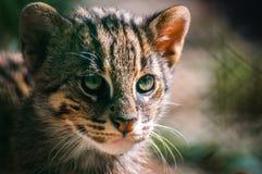 Portrait Wild Cat ,Felis silvestris. Portrait European Wild Cat ,Felis silvestris in zoo Stock Image