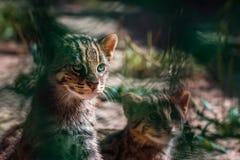 Portrait Wild Cats ,Felis silvestris. Portrait European Wild Cats ,Felis silvestris in zoo Royalty Free Stock Photo
