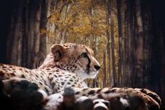Portrait of a wild cheetah Stock Photos
