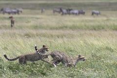 Portrait of wild cheetah. In its natural habitat Stock Image