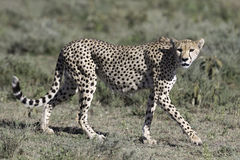 Portrait of wild cheetah. In its natural habitat Stock Photos
