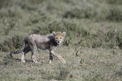 Portrait of wild cheetah. In its natural habitat Royalty Free Stock Image
