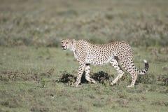 Portrait of wild cheetah. In its natural habitat Stock Photo
