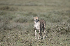 Portrait of wild cheetah. In its natural habitat Stock Photography