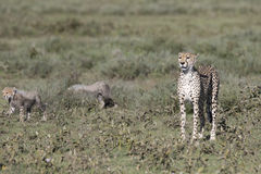 Portrait of wild cheetah. In its natural habitat Royalty Free Stock Photography