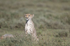 Portrait of wild cheetah. In its natural habitat Royalty Free Stock Photo