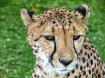 Portrait of a wild cheetah Royalty Free Stock Photos