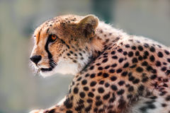 Portrait of a wild cheetah Royalty Free Stock Photography