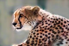 Portrait of a wild cheetah. Predator alert Royalty Free Stock Photography