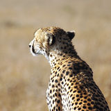 Portrait of a wild cheetah in savanna Stock Photography