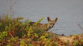 Coyote on the background of the Sea, Israel royalty free stock photos