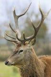 Portrait of wild deer Stock Photography