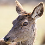 Portrait of wild doe Royalty Free Stock Photos