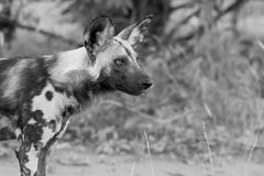 Portrait of a wild dog while on a hunt in artistic conversion Stock Image