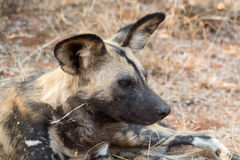 Portrait of a wild dog Royalty Free Stock Photo