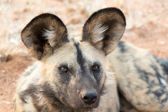 Portrait of a wild dog Stock Images