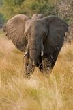 Portrait of a wild elephant in southern Africa. Royalty Free Stock Photos