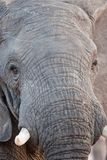 Portrait of a wild elephant in southern Africa. Royalty Free Stock Photography