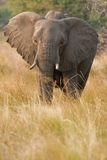 Portrait of a wild elephant in southern Africa. Royalty Free Stock Images