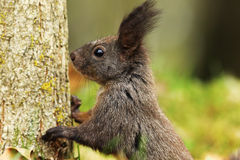 Portrait of wild european squirrel Stock Photography