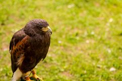 Portrait  wild falcon bird watching a traditional animal hunter on a green background Royalty Free Stock Images