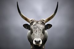 Portrait of a wild forest bull. On a gray background royalty free stock image