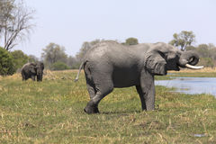 Portrait of wild free bull elephant showering Royalty Free Stock Photos